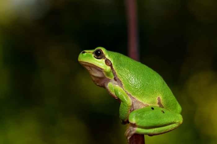 hyla-meridionalis-the-frog-amphibians.jpg